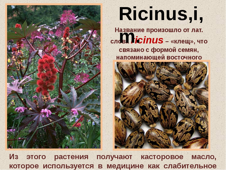 Название произошло от лат. слова ricinus – «клещ», что связано с формой семян...