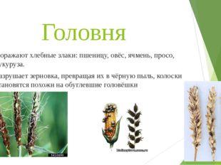 Головня Поражают хлебные злаки: пшеницу, овёс, ячмень, просо, кукуруза. Разру