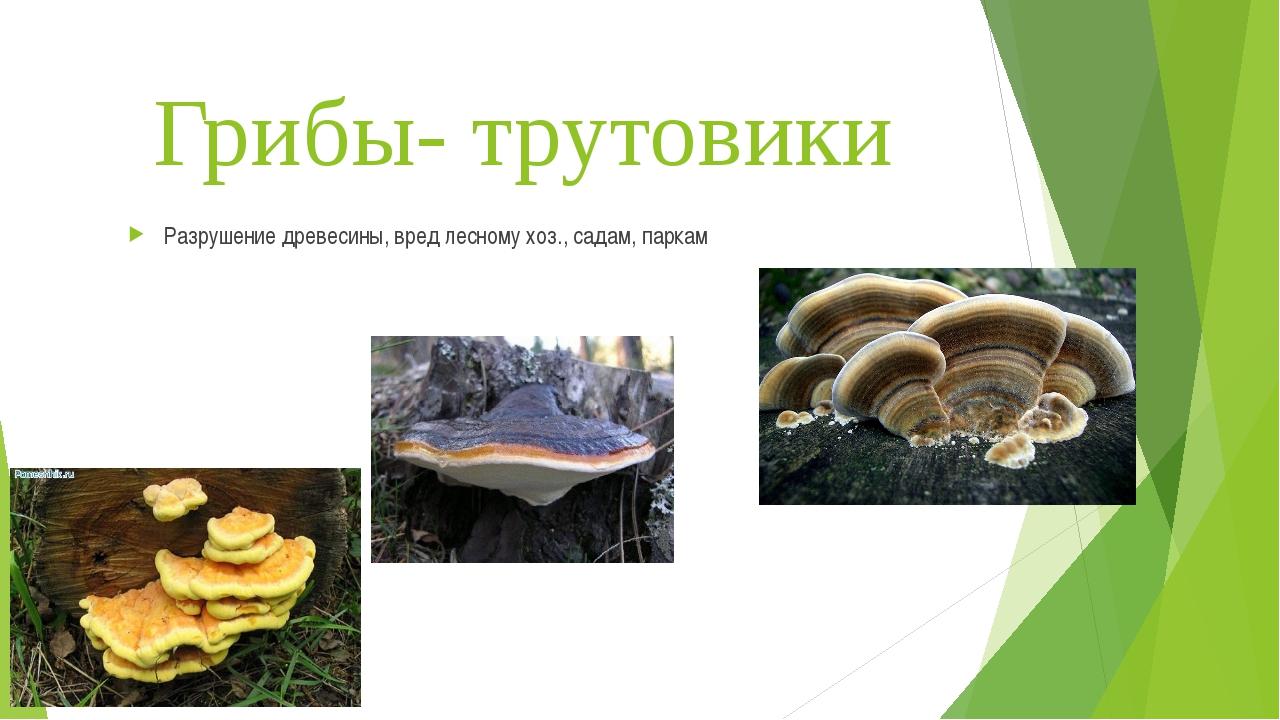 Грибы- трутовики Разрушение древесины, вред лесному хоз., садам, паркам
