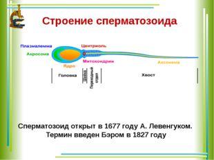 Строение сперматозоида Сперматозоид открыт в 1677 году А. Левенгуком. Термин