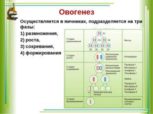Овогенез Осуществляется в яичниках, подразделяется на три фазы: 1) размножени