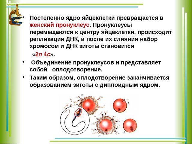 Постепенно ядро яйцеклетки превращается в женский пронуклеус. Пронуклеусы пер...