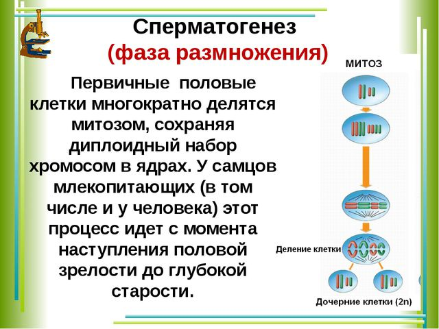 Cперматогенез (фаза размножения) Первичные половые клетки многократно делятс...