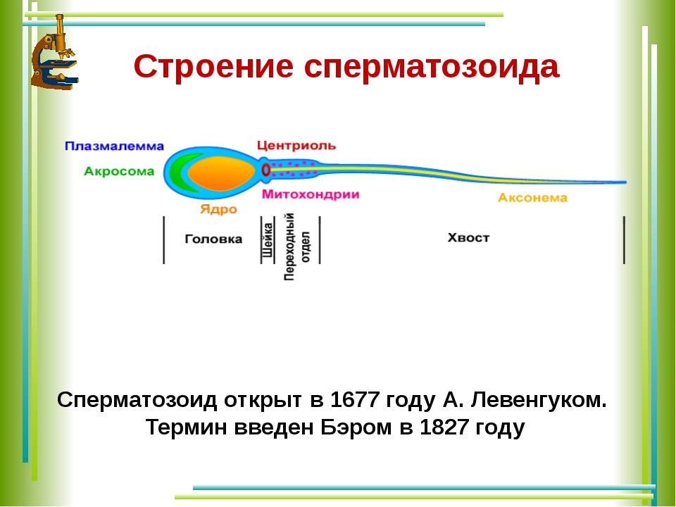 Строение сперматозоида Сперматозоид открыт в 1677 году А. Левенгуком. Термин...