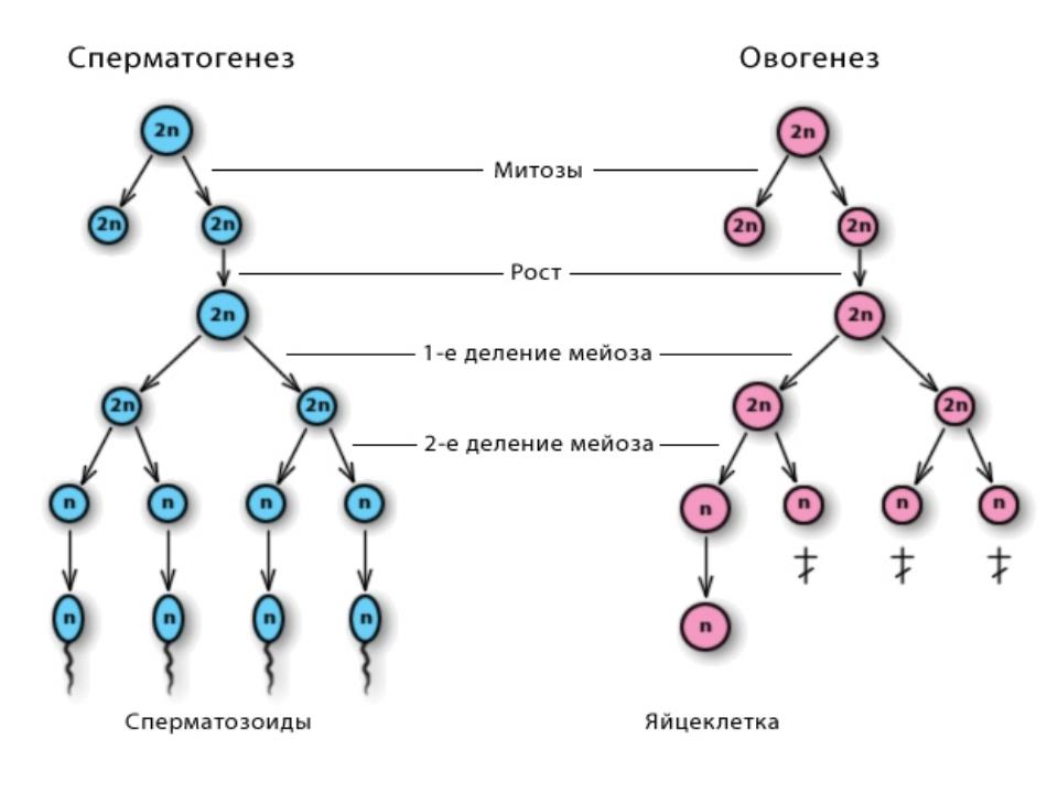 referat-na-temu-spermatogenez