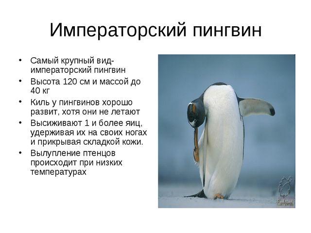 Императорский пингвин Самый крупный вид- императорский пингвин Высота 120 см...