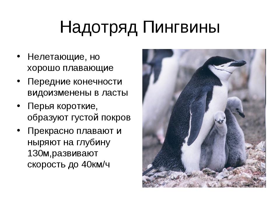 Надотряд Пингвины Нелетающие, но хорошо плавающие Передние конечности видоизм...
