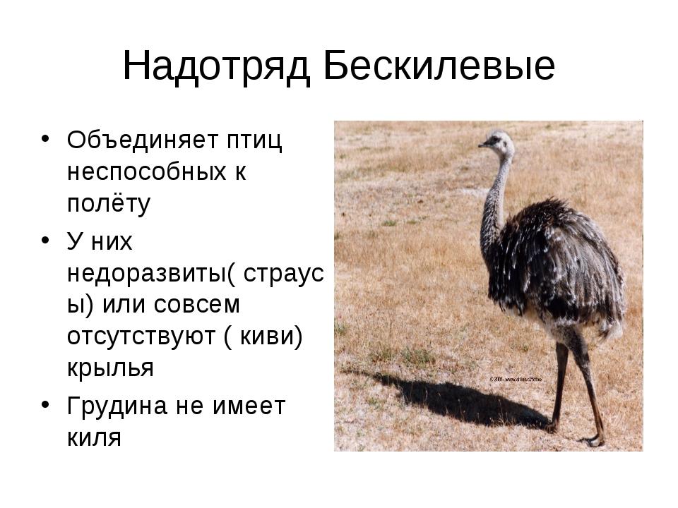 Надотряд Бескилевые Объединяет птиц неспособных к полёту У них недоразвиты( с...