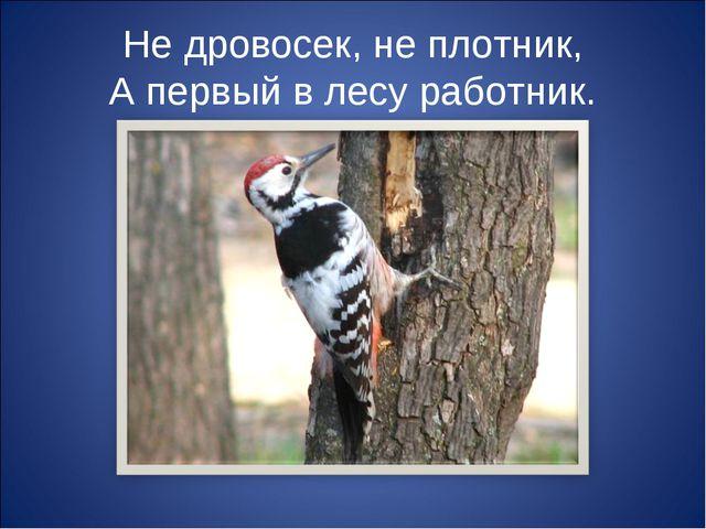 Не дровосек, не плотник, А первый в лесу работник.