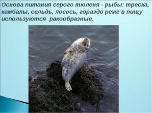 Основа питания серого тюленя - рыбы: треска, камбалы, сельдь, лосось, гораздо