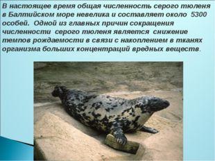 В настоящее время общая численность серого тюленя в Балтийском море невелика