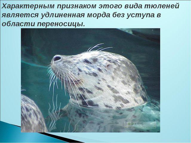 Характерным признаком этого вида тюленей является удлиненная морда без уступа...