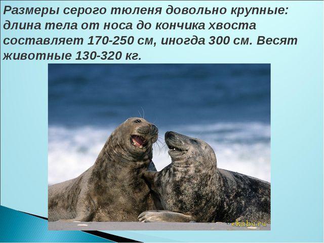 Размеры серого тюленя довольно крупные: длина тела от носа до кончика хвоста...