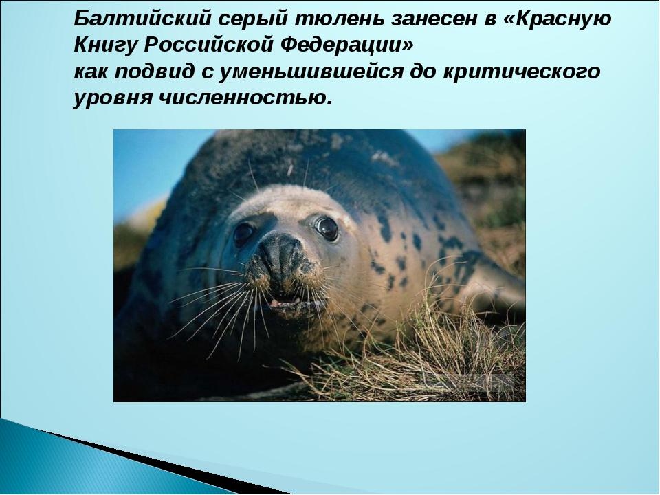 Балтийский серый тюлень занесен в «Красную Книгу Российской Федерации» как по...