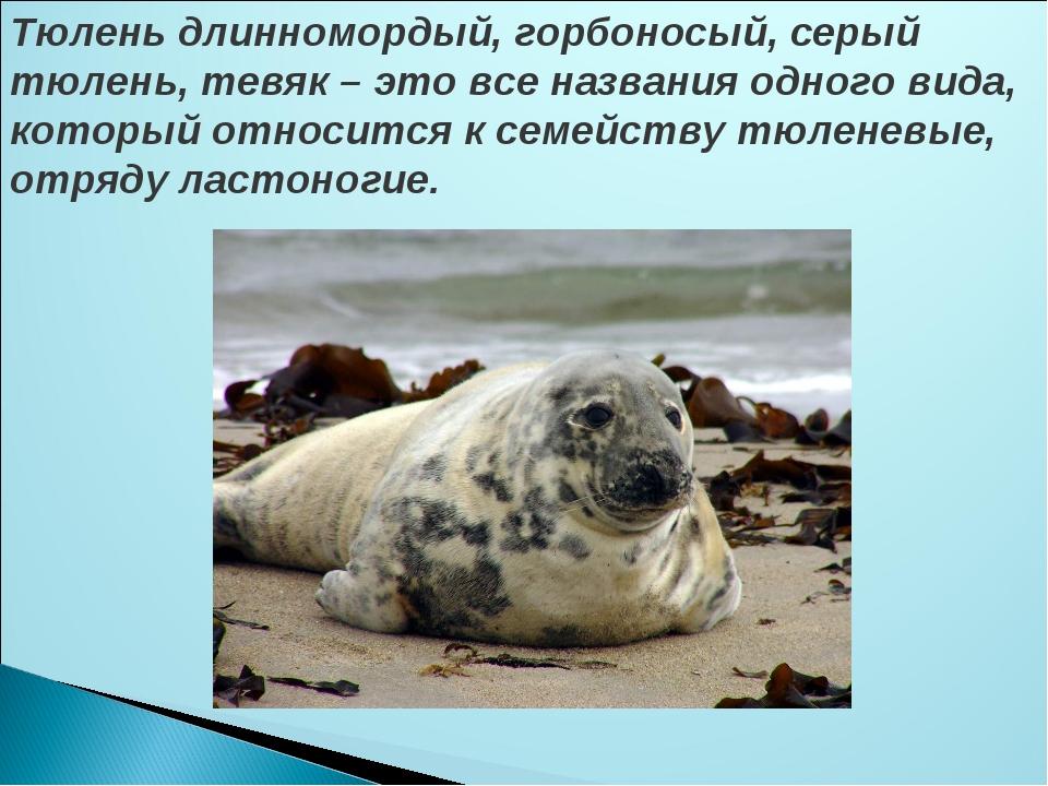 Тюлень длинномордый, горбоносый, серый тюлень, тевяк – это все названия одног...