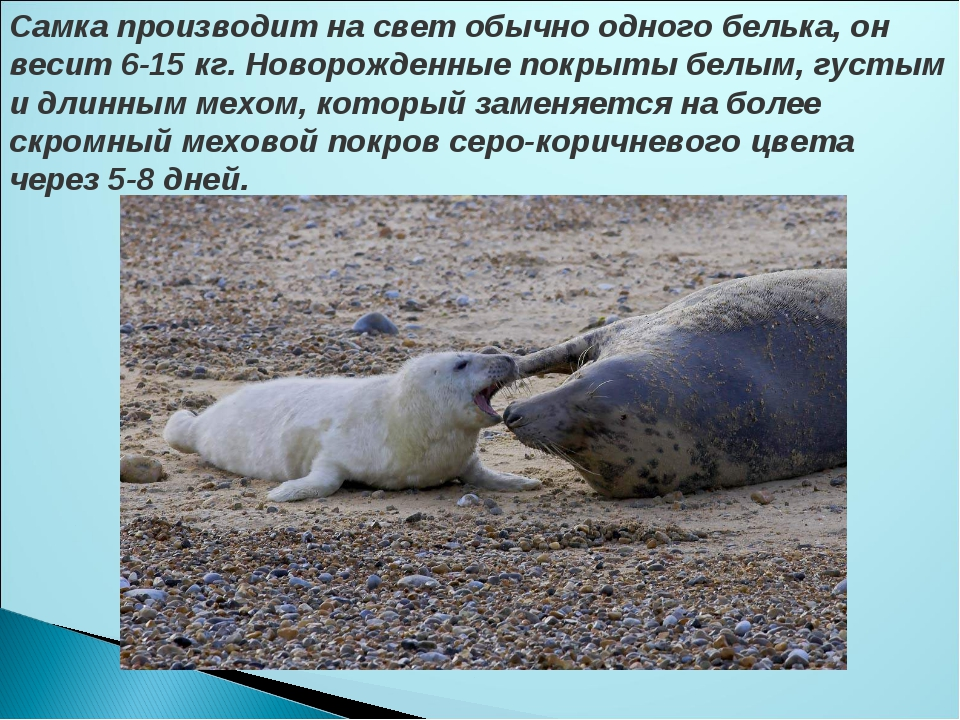 Самка производит на свет обычно одного белька, он весит 6-15 кг. Новорожденны...