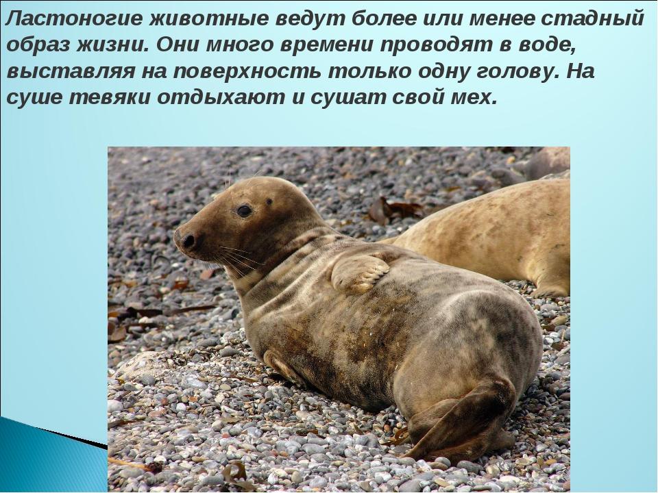 Ластоногие животные ведут более или менее стадный образ жизни. Они много врем...