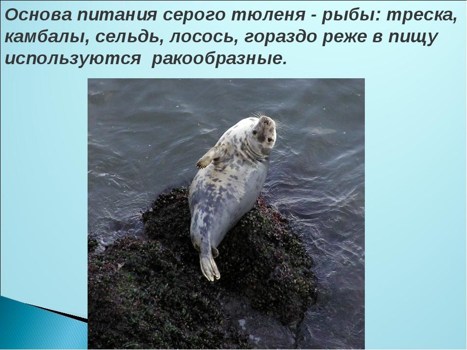 Основа питания серого тюленя - рыбы: треска, камбалы, сельдь, лосось, гораздо...