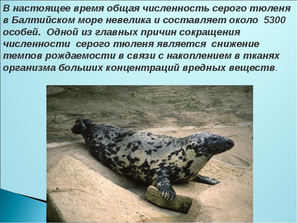 В настоящее время общая численность серого тюленя в Балтийском море невелика...