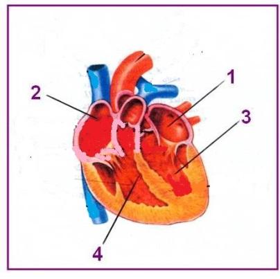 F:\КИМы 8 класс\схема сердца - копия.jpg