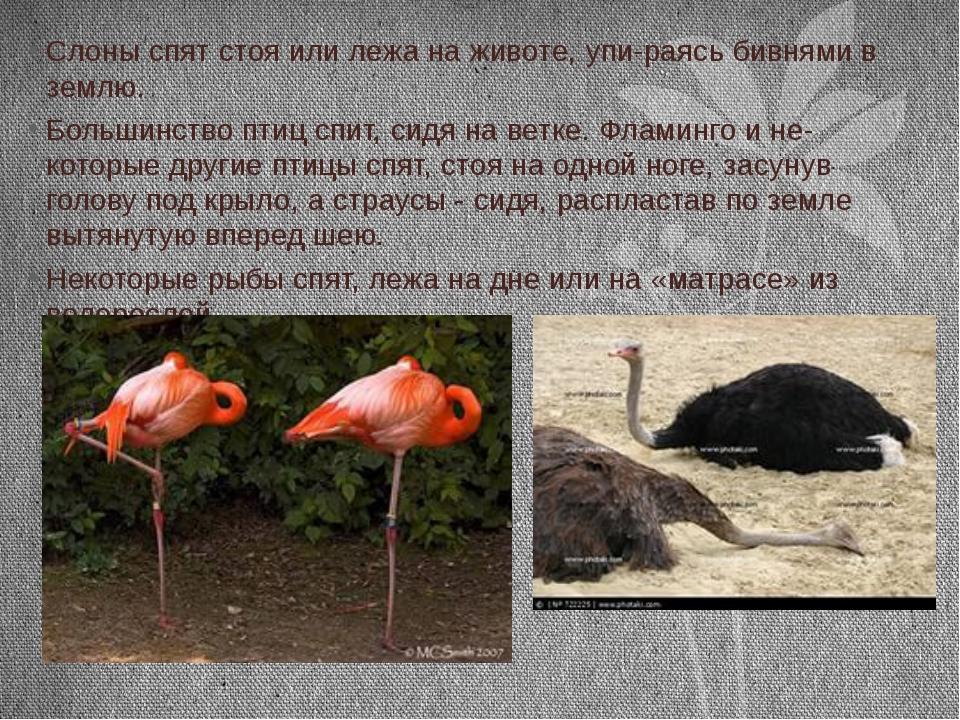 Слоны спят стоя или лежа на животе, упираясь бивнями в землю. Большинство пт...