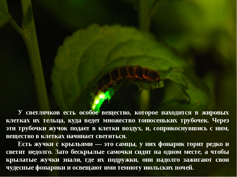 У светлячков есть особое вещество, которое находится в жировых клетках их те...