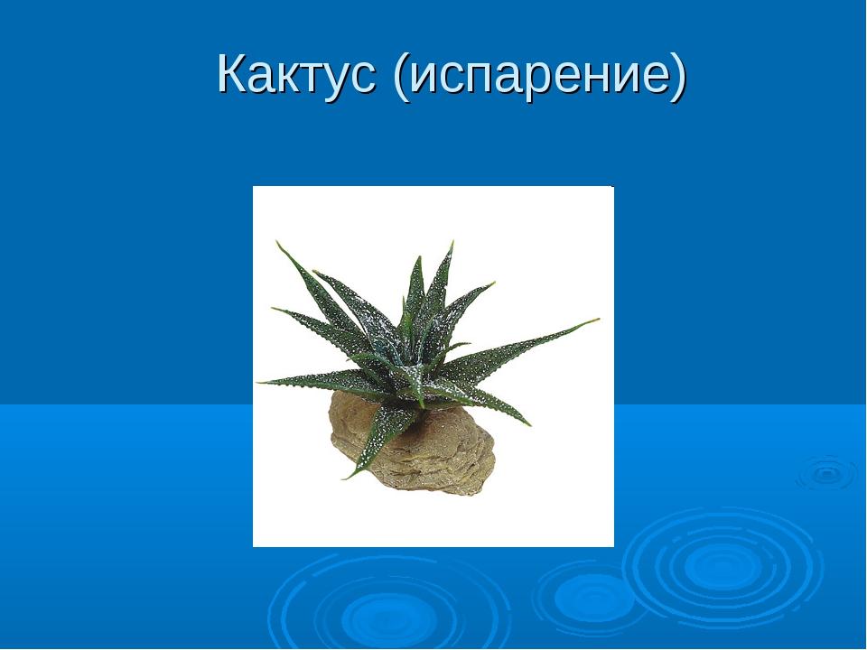 Кактус (испарение)