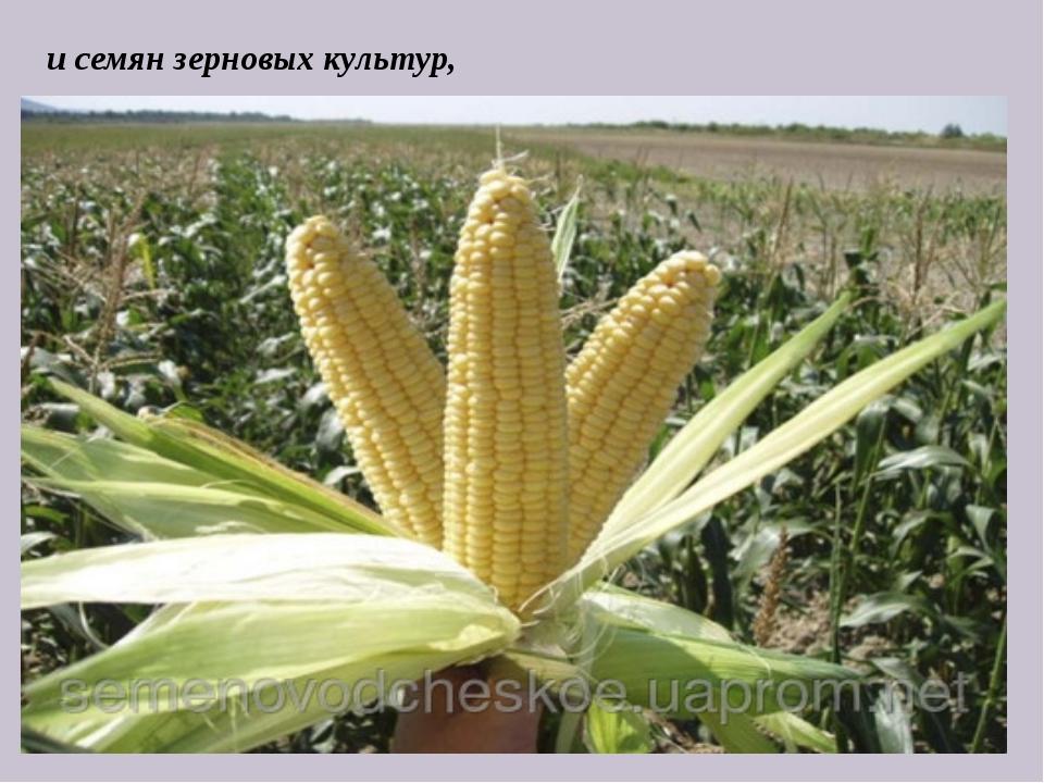 и семян зерновых культур,