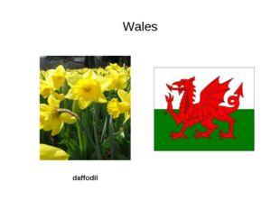 Wales daffodil