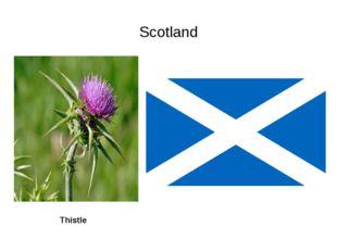 Scotland Thistle