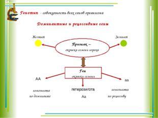 Генотип - совокупность всех генов организма Доминантные и рецессивные гены Пр