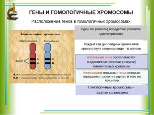 ГЕНЫ И ГОМОЛОГИЧНЫЕ ХРОМОСОМЫ Каждый ген диплоидных организмов присутствует в