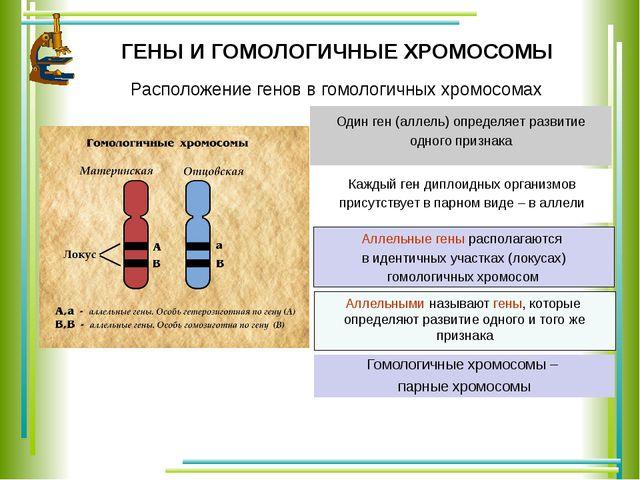 ГЕНЫ И ГОМОЛОГИЧНЫЕ ХРОМОСОМЫ Каждый ген диплоидных организмов присутствует в...