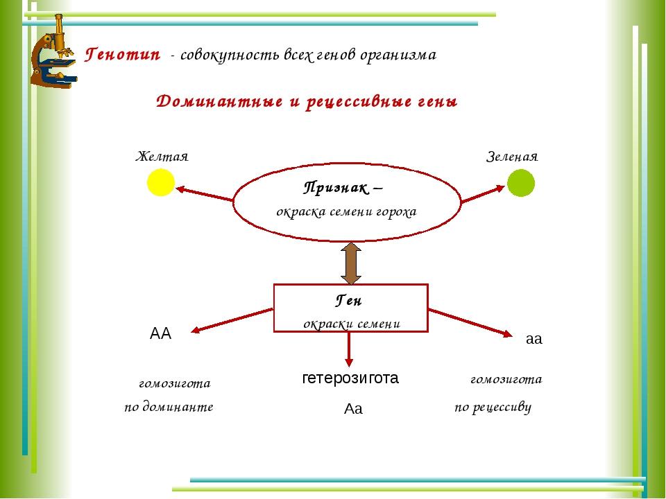 Генотип - совокупность всех генов организма Доминантные и рецессивные гены Пр...