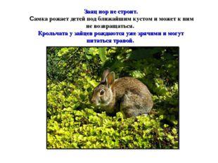 Заяц нор не строит. Самка рожает детей под ближайшим кустом и может к ним не