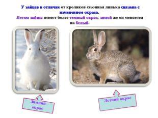 У зайцев в отличие от кроликов сезонная линька связана с изменением окраса.