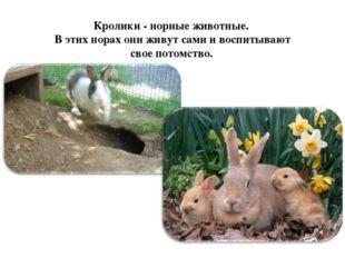 Кролики - норные животные. В этих норах они живут сами и воспитывают свое пот