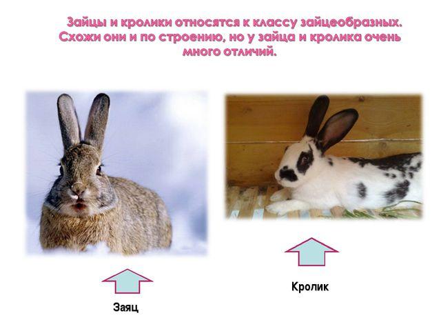 Заяц Кролик