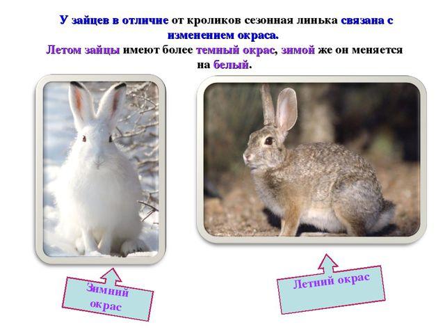 У зайцев в отличие от кроликов сезонная линька связана с изменением окраса....