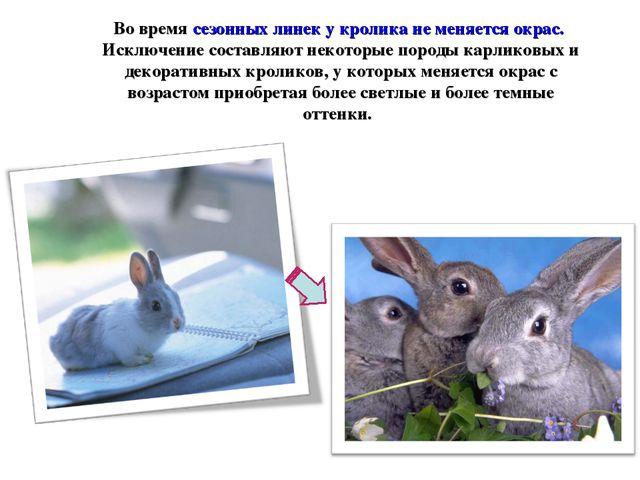 Во время сезонных линек у кролика не меняется окрас. Исключение составляют не...