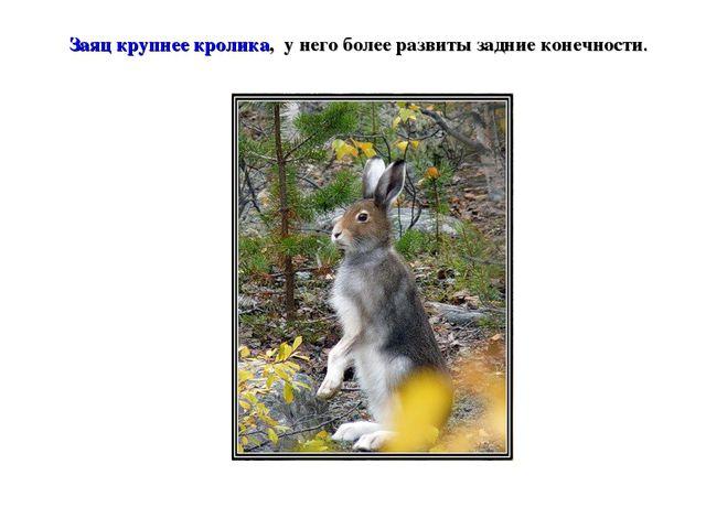 Заяц крупнее кролика, у него более развиты задние конечности.