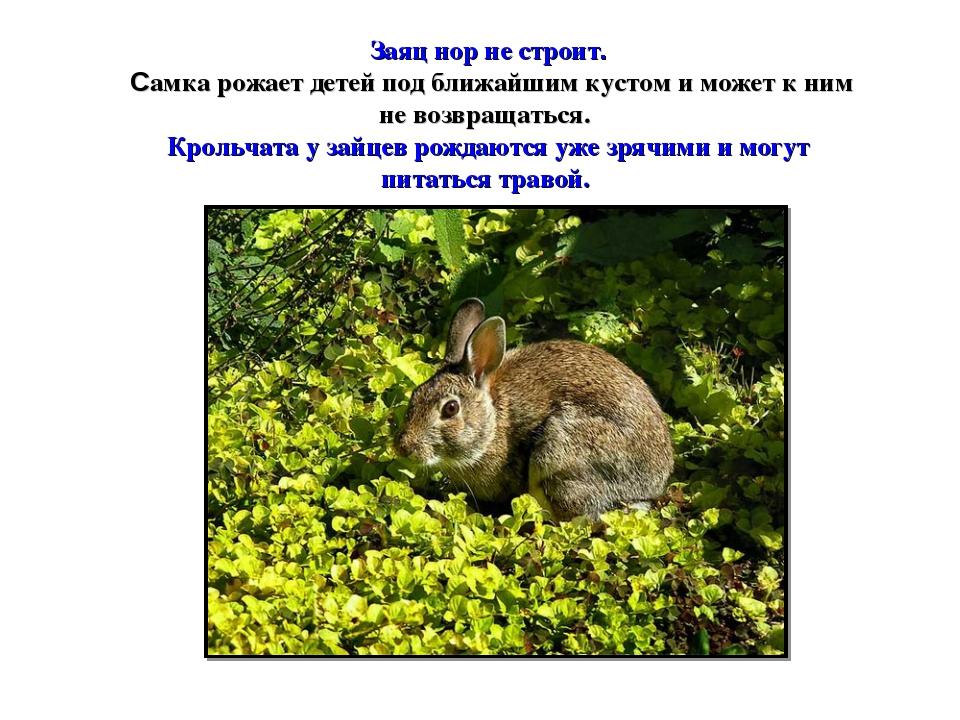 Заяц нор не строит. Самка рожает детей под ближайшим кустом и может к ним не...