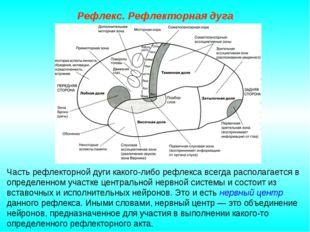 Рефлекс. Рефлекторная дуга Часть рефлекторной дуги какого-либо рефлекса всегд