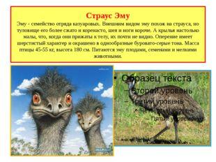 Страус Эму Эму - семейство отряда казуаровых. Внешним видом эму похож на стра