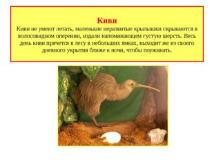 Киви Киви не умеют летать, маленькие неразвитые крылышки скрываются в волосов