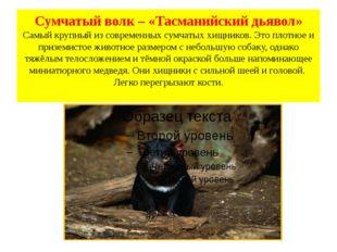 Сумчатый волк – «Тасманийский дьявол» Самый крупный из современных сумчатых х