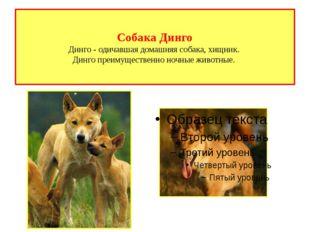 Собака Динго Динго - одичавшая домашняя собака, хищник. Динго преимущественно