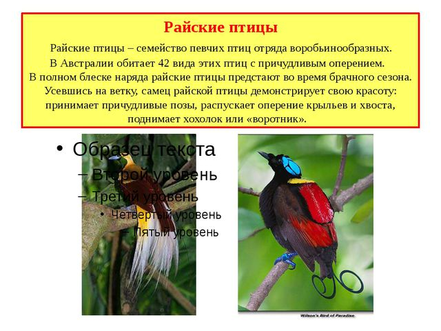 Райские птицы Райские птицы – семейство певчих птиц отряда воробьинообразных....