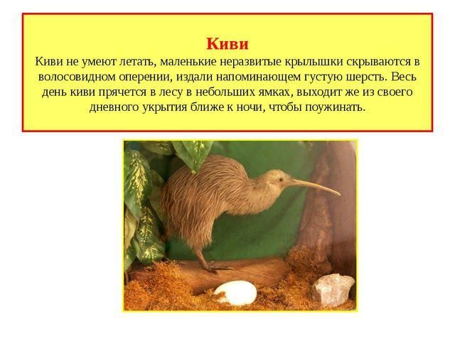 Киви Киви не умеют летать, маленькие неразвитые крылышки скрываются в волосов...