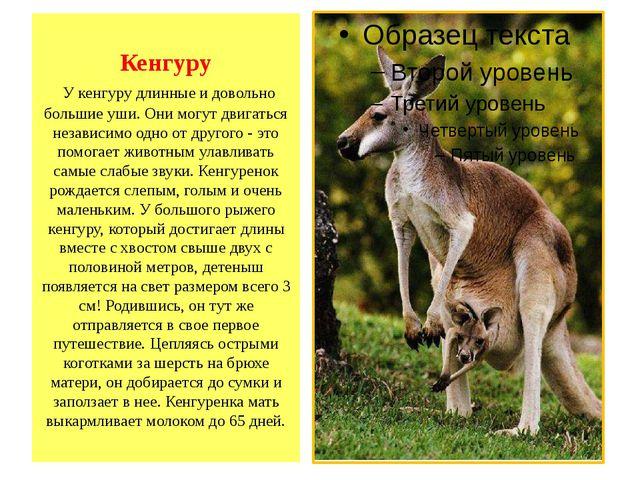Кенгуру У кенгуру длинные и довольно большие уши. Они могут двигаться независ...